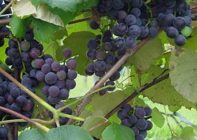 NC Mountain Vineyards